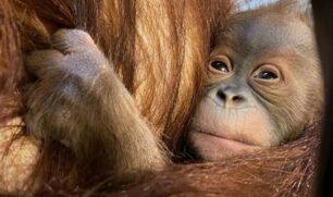 حديقة حيوان أميركية تشهد مولودا جديدا من إنسان الغاب المهدد بالانقراض