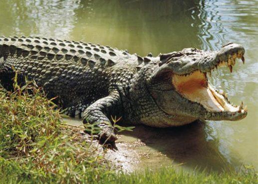 بين البرمائي و ذو الناب تفصيل حكم أكل لحم التمساح النخبة