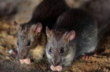 الفئران استفادت من البشر لغزو العالم منذ 15 آلاف سنة