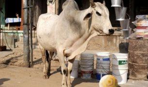 فيديو لبقرة تلعب كرة قدم مع أطفال في الهند يحصد ملايين المشاهدات