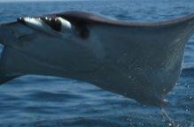 فيديو| شيطان البحر يطلب المساعدة من الغواصين