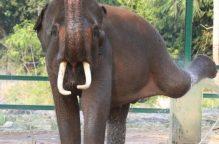 دعوة لمقاطعة عروض الفيلة بسريلانكا بسبب سوء المعاملة