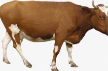 بسبب اللحوم.. وباء جنون البقر ينتشر من جديد بعد مرور 20 عاما ببريطانيا